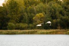 Lago de cabeza negra Pogoria de la gaviota imágenes de archivo libres de regalías