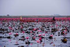 Lago de florescência lotus Imagens de Stock Royalty Free