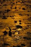 Lago de florescência lotus Na manhã Foto de Stock Royalty Free