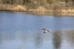 Lago de la vida del agua de manatial de la naturaleza de la mosca del pato caliente imagenes de archivo