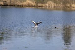 Lago de la vida del agua de manatial de la naturaleza de la mosca del pato caliente fotografía de archivo libre de regalías