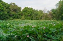 Lago de lotos imagen de archivo libre de regalías