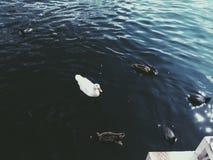 Lago de patos Fotografia de Stock