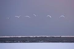 Lago del cigno di Rongcheng Immagine Stock