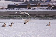 Lago del cisne de Rongcheng Imagen de archivo