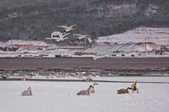 Lago del cisne de Rongcheng Foto de archivo