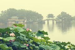 Lago del oeste Lotus hangzhou en la plena floración por una mañana brumosa Foto de archivo libre de regalías