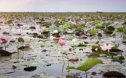 Lago di loto rosso a Udonthani Tailandia (non vista in Tailandia) fotografia stock libera da diritti