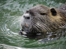 Lago di nuoto del castoro fotografia stock libera da diritti
