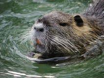 Lago di nuoto del castoro immagini stock libere da diritti