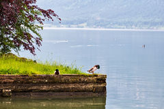 Lago dos patos selvagens n Hallstatt em Áustria Foto de Stock Royalty Free