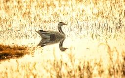 Lago dourado Imagens de Stock Royalty Free