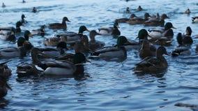 Lago duck Anatre nell'inverno Anatre nella riserva archivi video