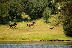 Lago e cavalos Fotografia de Stock Royalty Free