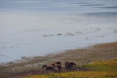 Lago e cavalos Foto de Stock