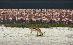 Lago enchido flamingo Nakuru com o antilope que pasta imagem de stock