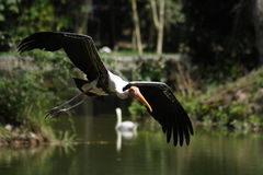 Lago flying del pájaro de la cigüeña Imágenes de archivo libres de regalías