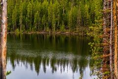 Lago forest, dia de mola Uma clareira verde da floresta e uns pinheiros altos refletiram na água imagens de stock
