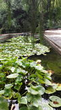 Lago frog Fotografia de Stock