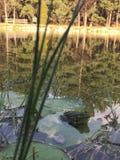 Lago frog immagine stock libera da diritti