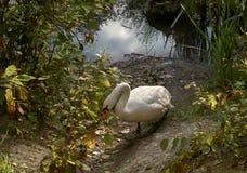 Lago-ganso del ganso en la orilla del lago cerca de Leipzig Alemania Imágenes de archivo libres de regalías