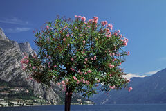 Lago Garda da árvore do Oleander (oleander do Nerium) foto de stock royalty free
