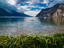Lago Garda y su cisne fotos de archivo libres de regalías