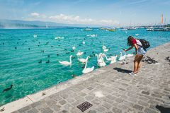 Lago geneva Leman con il gruppo di cigno bianco Fotografia Stock
