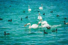 Lago geneva Leman con il gruppo di cigno bianco Fotografie Stock