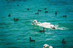 Lago geneva Leman con il gruppo di cigno bianco Fotografie Stock Libere da Diritti