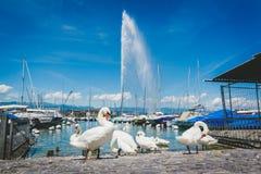 Lago geneva Leman con il gruppo di cigno bianco Immagini Stock Libere da Diritti