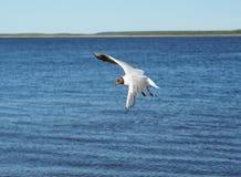 Lago gull - ridibundus di larus fotografie stock