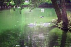 Lago hermoso con los gansos blancos Naturaleza, aire limpio Pueblo foto de archivo