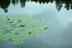 Lago Lírios de água fotografia de stock royalty free