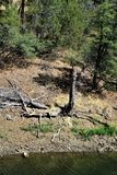 Lago lynx, sezione forestale di Bradshaw, Prescott National Forest, stato dell'Arizona, Stati Uniti Fotografie Stock Libere da Diritti