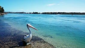 Lago Macquarie pelican @ immagine stock