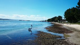 Lago Macquarie pelican @ Foto de Stock