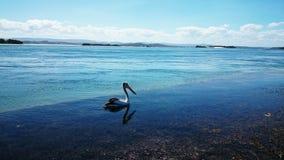 Lago Macquarie pelican @ foto de stock