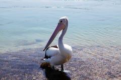 Lago Macquarie pelican @, Austrália fotografia de stock