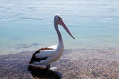 Lago Macquarie pelican @, Austrália Fotos de Stock