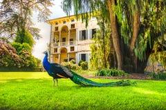 Lago Maggiore piedmont Itália Isola Madre do pavão Imagens de Stock Royalty Free