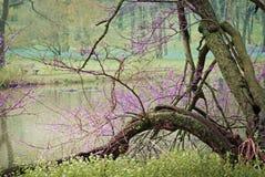 Lago Marmo en la primavera con el árbol floreciente púrpura por el agua en Morton Arboretum imagenes de archivo