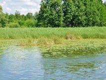 Lago Masurian con las cañas shore-2 Imagenes de archivo