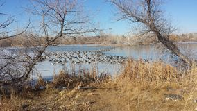 Lago a medias congelado con 100 y x27; s de gansos Fotografía de archivo