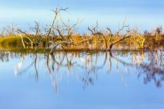 Lago Menindee Australia en la puesta del sol con los árboles muertos Imágenes de archivo libres de regalías