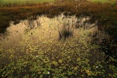 Lago minúsculo dos lótus Imagem de Stock Royalty Free