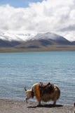 Lago, moutains della neve & yak Immagine Stock