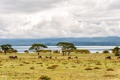 Lago Naivasha imagens de stock