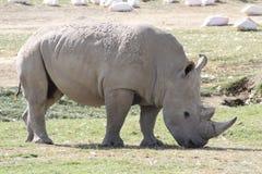 Lago Nakuru rhino Fotografia Stock Libera da Diritti