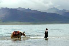 Lago Namtso con los yacs Imagenes de archivo